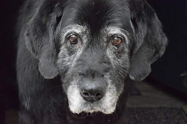 Мошенники обрадовались, когда им открыла сухонькая девяностолетняя старушка. Но тут за её спиной появился огромный пёс Кирюша