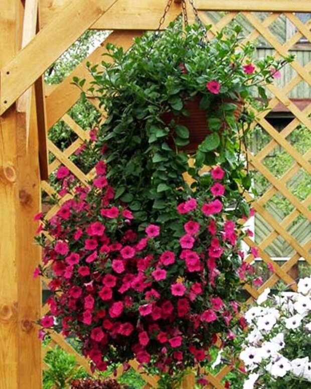 Как добиться пышного цветения петунии