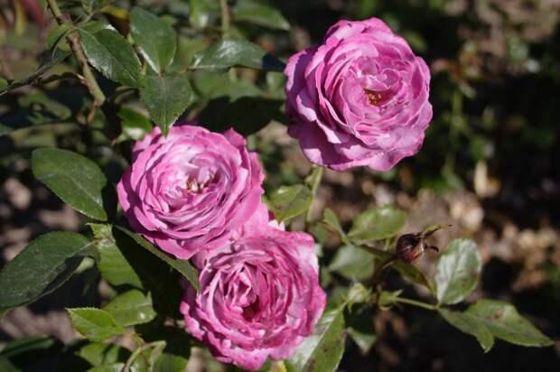 Розы Кордеса: неприхотливость и надежность