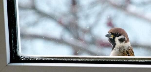 Воробей стучит в окно - приметы и как их сделать счастливыми