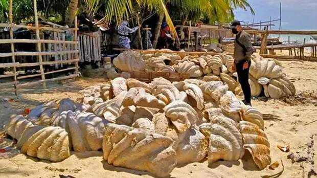 На Филиппинах изъяли раковины моллюсков-гигантов на 25 млн долларов