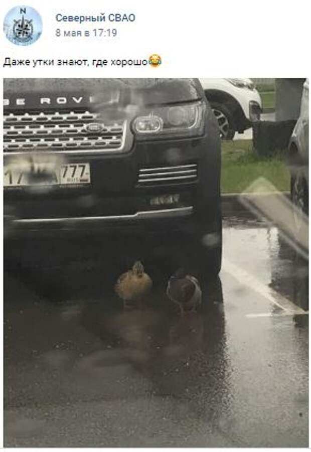 Фотокадр: утиная пара в Северном прибилась к внедорожнику