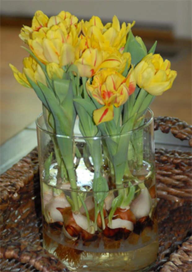 Выращивание тюльпанов в прозрачной вазе (4) (317x450, 193Kb)