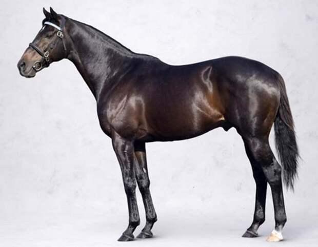 Чистокровный английский жеребец Шариф Дансер, фото лошади фотография