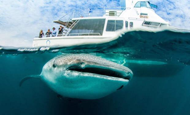 Огромная китовая акула толкнула носом лодку: рыбак посмотрел вниз и понял, что она просит помочь