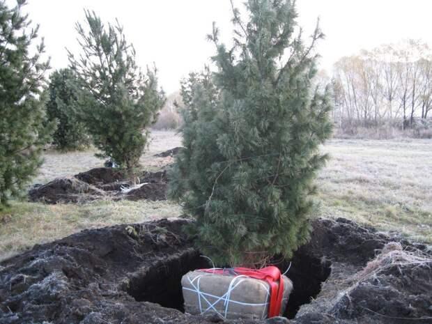 Посадка деревьев-крупномеров