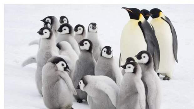 Дитинчата імператорського пінгвіна