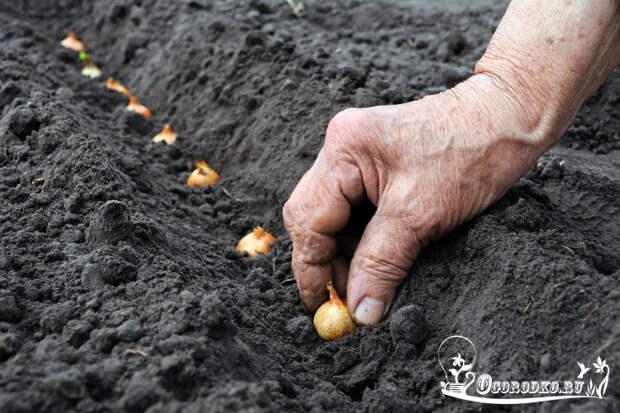 как правильно посадить лук севок