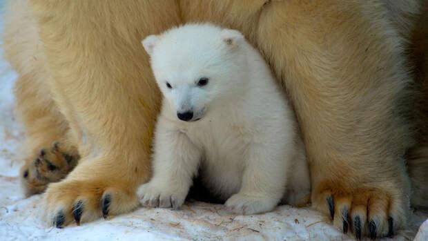 В Красноярском крае осиротевший белый медвежонок пришел к людям