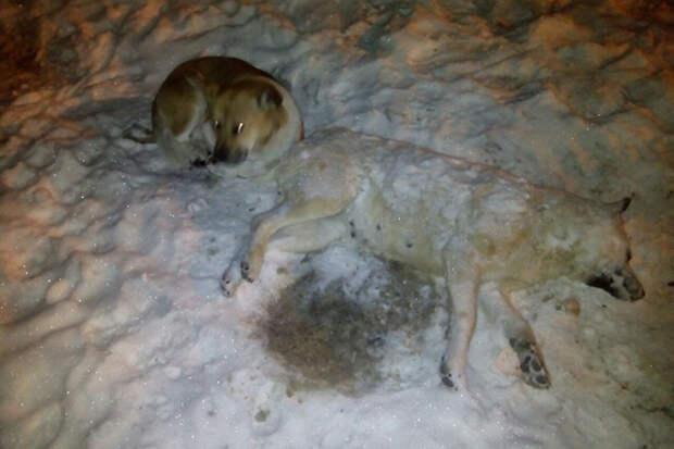 Под Хабаровском пес провел несколько дней рядом с убитой беременной подругой