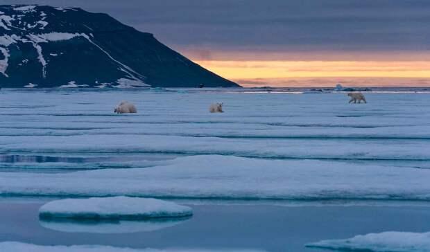 Белый медведь обитает в Арктике