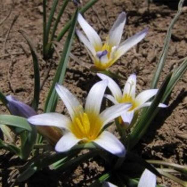 Ромулея нивалис (Romulea nivalis)