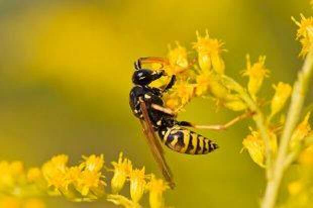 Правда ли, что яд осы поможет излечить рак?