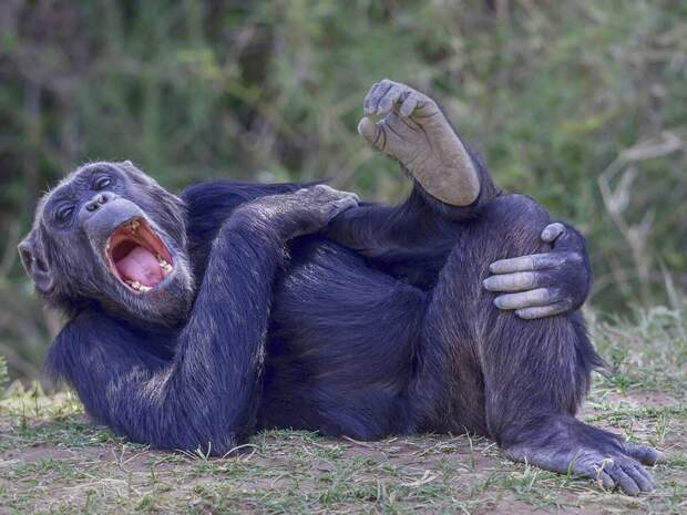 Смеющийся шимпанзе в Кении