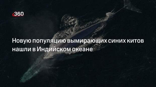 Новую популяцию вымирающих синих китов нашли в Индийском океане