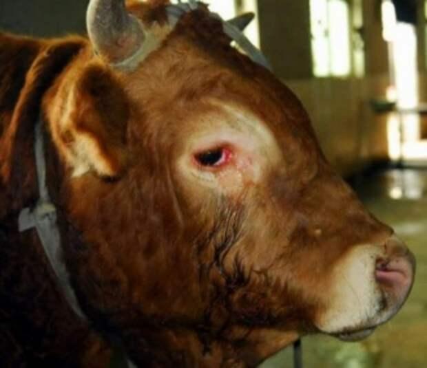Плачущий бык
