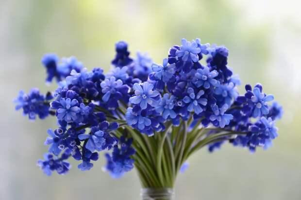 flowers-bouquet-blue-muscari-1388945-flo