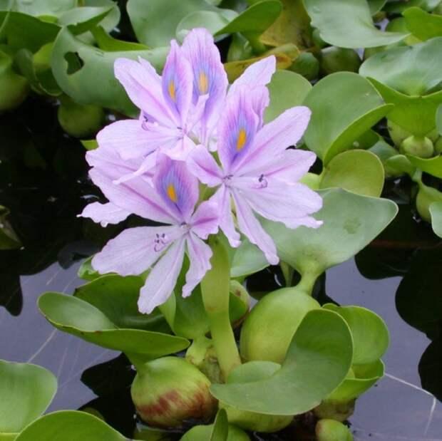 Красавец-цветок, который чуть не погубил все американские реки