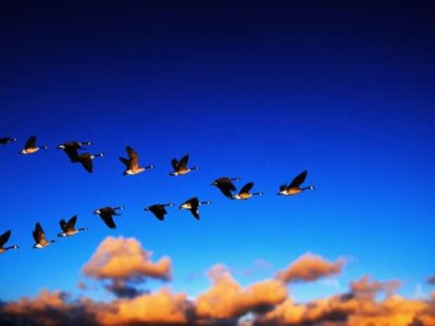 Причины миграции птиц