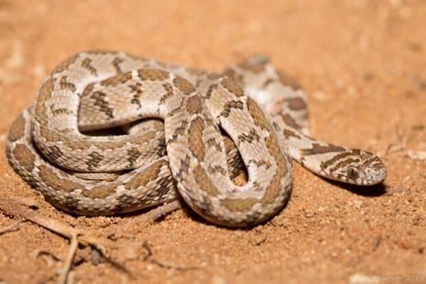 Африканская яичная змея (лат. Dasypeltis scabra)