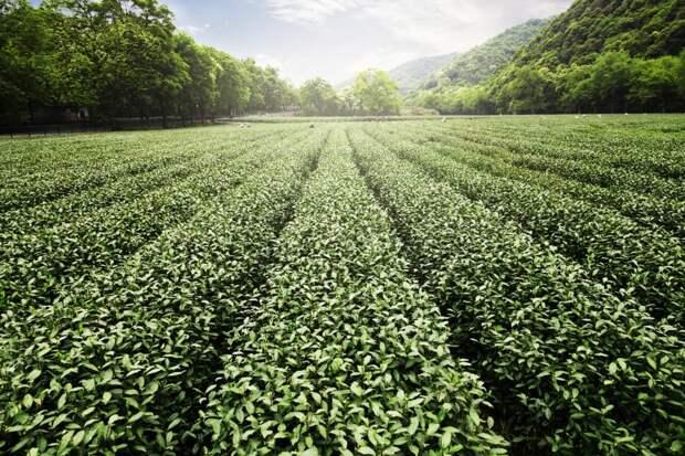 Коронавирус изасуха заставят подорожать индийский чай: Новости ➕1, 17.05.2021