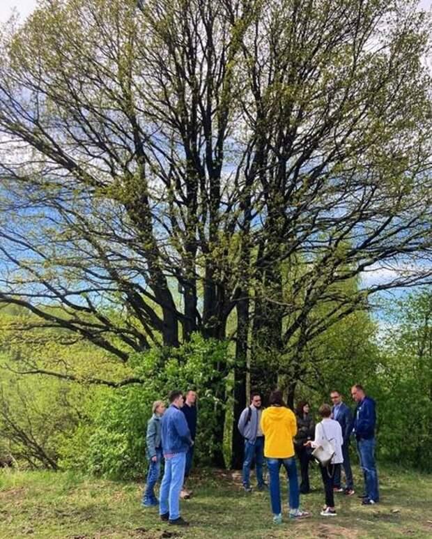 Местные жители отстояли уникальный многовековой дуб в красногорском поселке Отрадное