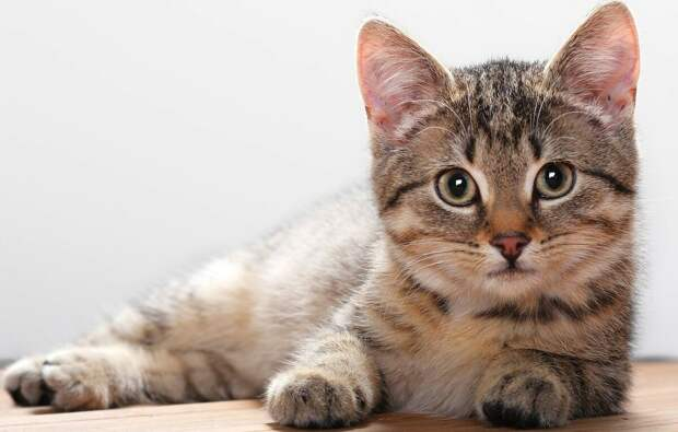 Нашла картинку котика, похожего на моего. Из интернета.