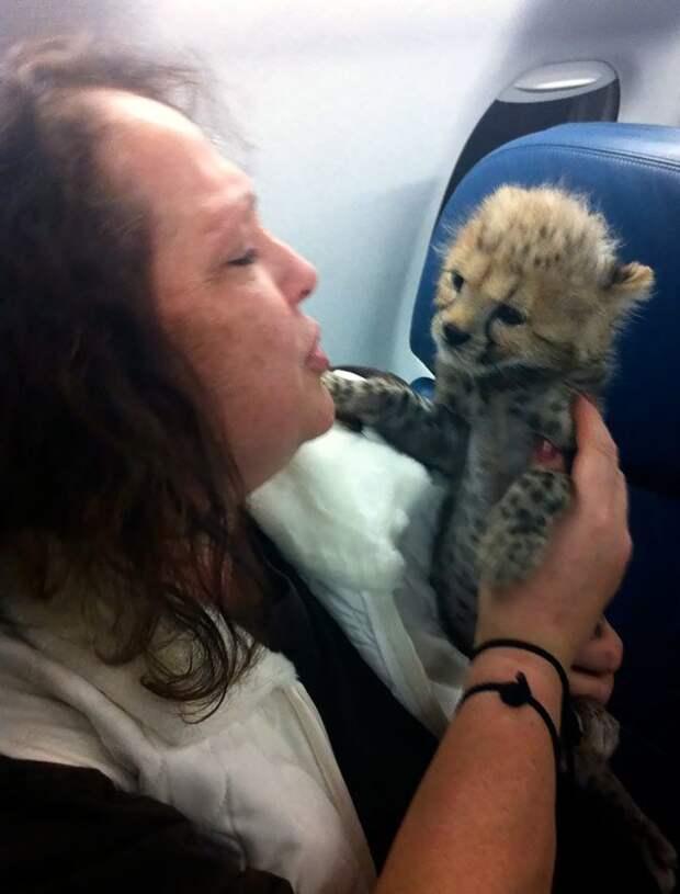 Перевозка хищников - дело ответственное животные, забавно, летайте самолетами, мило, пассажиры, самолет, собаки, хвостатые пассажиры