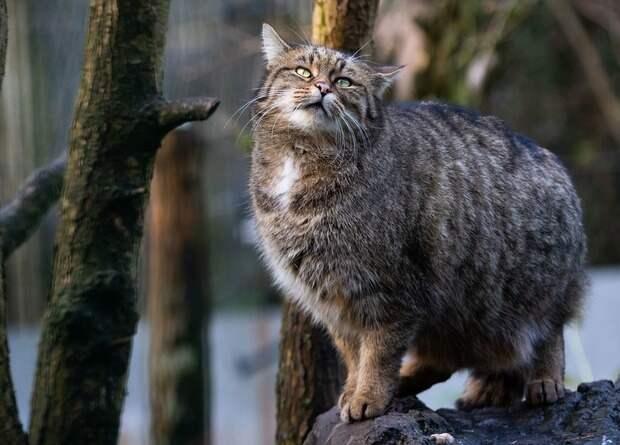 Лесные коты вернутся в Англию и Уэльс спустя 200 лет отсутствия