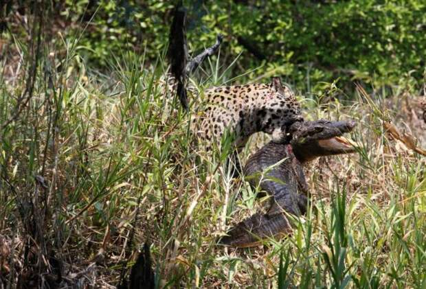 Ягуар перекусил кайманом (8 фото)