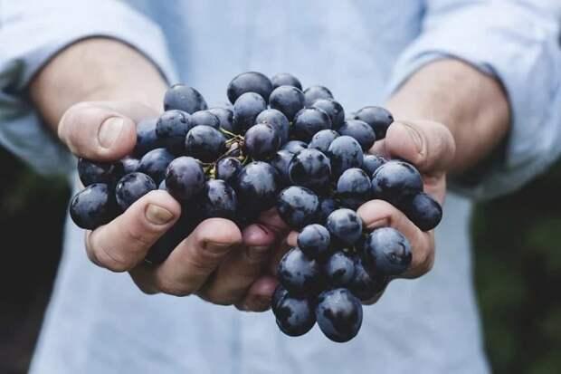 Коллекция винограда лаборатории Тимирязевки пополнится новыми сортами