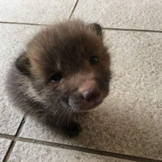 Парень решил выяснить породу щенка. Друзья подсказали, что это за животное