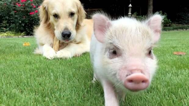 Трогательная история маленькой свинки и её четвероногого друга растопит ваше сердце