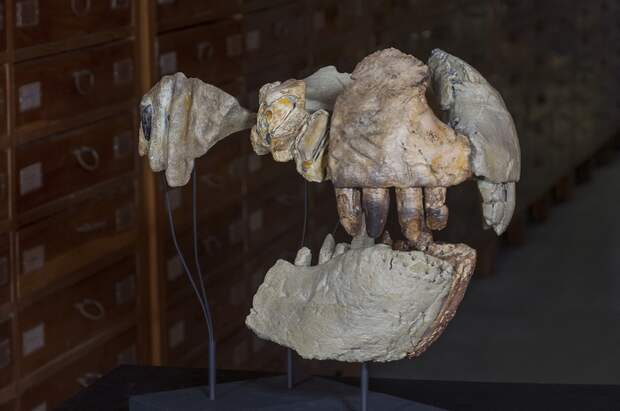 Фрагменты челюсти и зубов древнего хищника