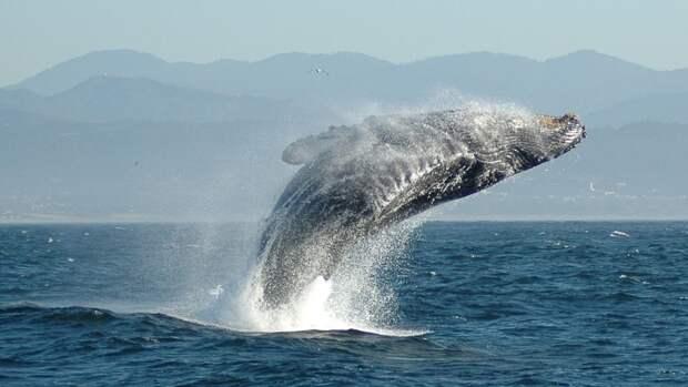 Горбатый кит проглотил жителя Массачусетса и выплюнул обратно