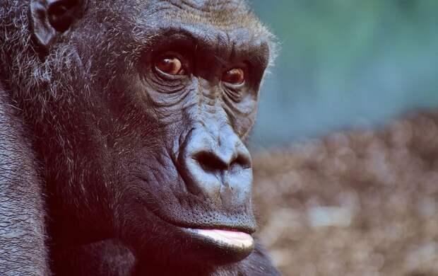 В зоопарке США у горилл впервые обнаружили коронавирус