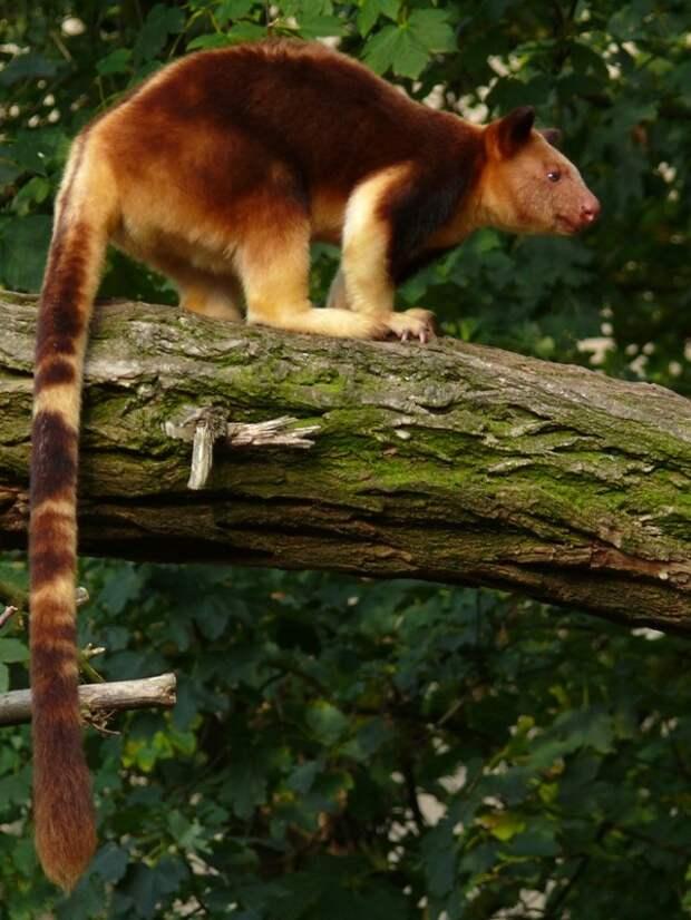 Валаби - древесные кенгуру.