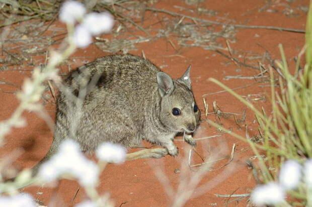 Самый необычный кенгуру, который совсем не похож на привычное для всех сумчатое