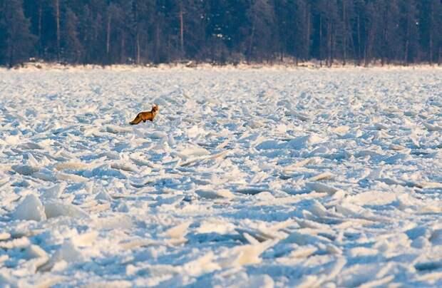 Блинчатый лёд на Онежском озере лёд, озеро, природа