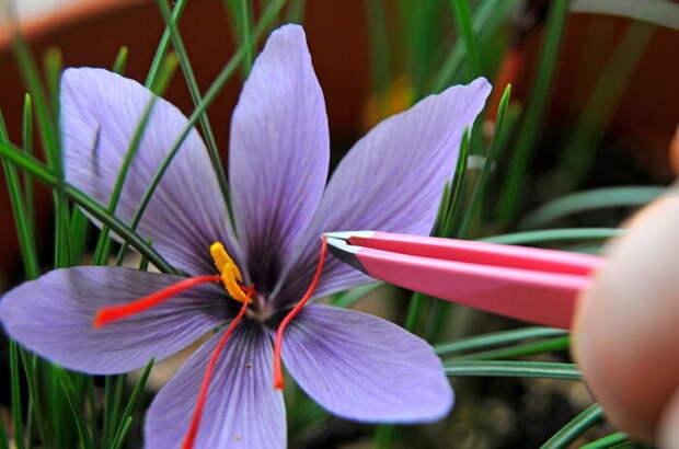 Специей является не все растение, а только яркие рыльца / Фото: walmart.com