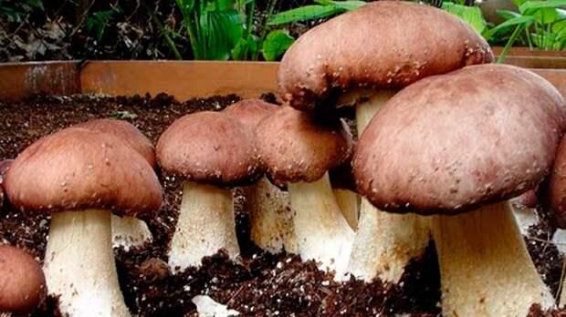 Как вырастить грибы на даче: несколько советов для новичков