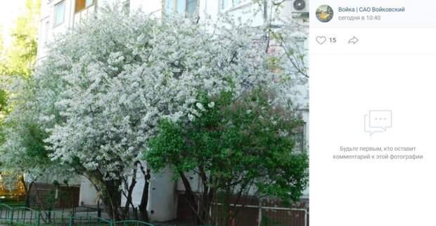 Фото дня: цветущий Войковский