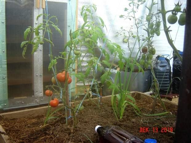 Зимняя теплица Краснодарский край Зимняя теплица, Краснодарский край, Любовь прошла-завяли помидоры, Длиннопост