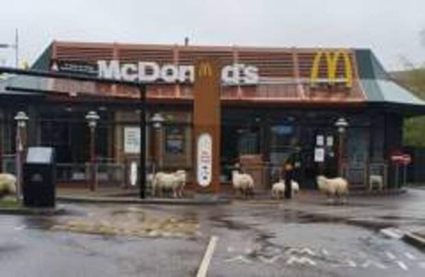 В Британии овцы пришли в закрытый «Макдональдс»