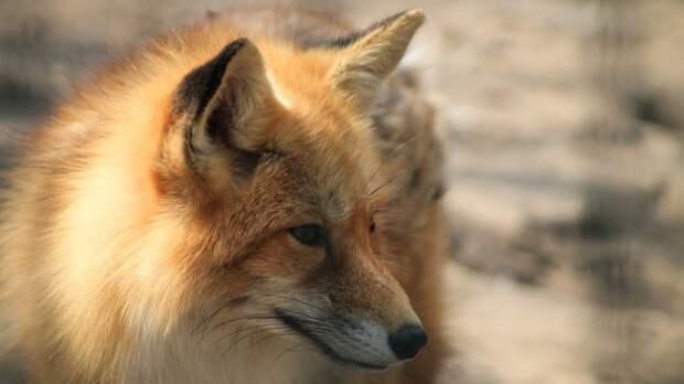 Свежая щепа вызвала восторг у лис Павлуши и Ариши из Абаканского зоопарка