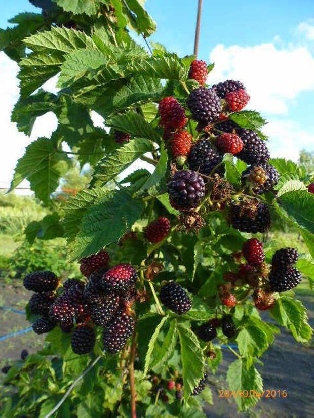 Ежевика сорта Валдо, ветка с ягодами