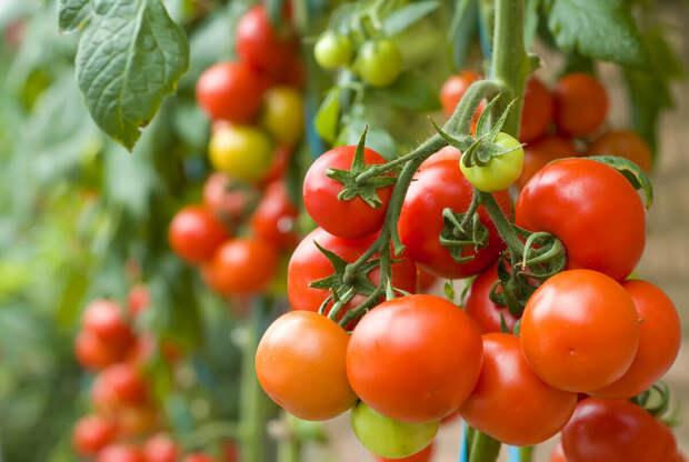 Свежие томаты круглый год: как вырастить помидоры дома