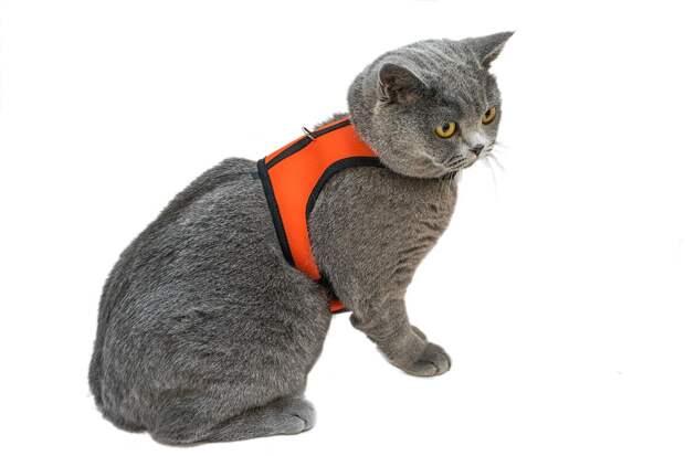 Кошка в шлейке-рубашке