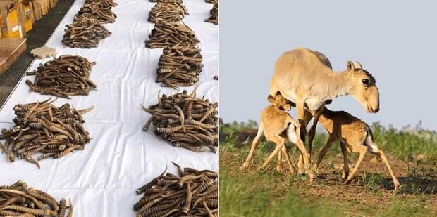 Ущерб на сумму более Т2 млрд причинили за два года охотники за рогами сайги в Казахстане