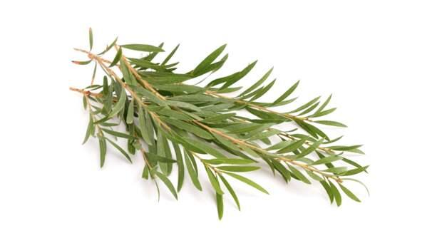 tea-tree__65098.1545850380